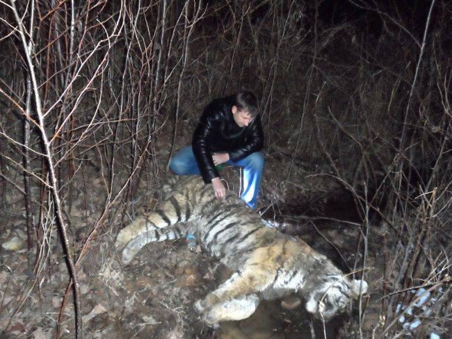 Несмотря на ужесточение законов тигров продолжают убивать