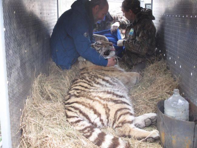 Золушка пополнила популяцию диких амурских тигров