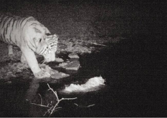 Мы в ответе за тигров, которых приручили?
