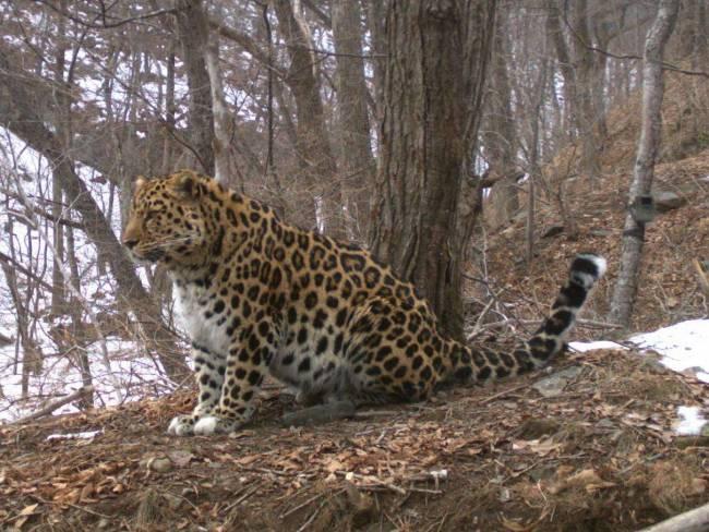 Леопард  Leo 30M - Охотск. Имя ему выбрал глава министерства природных ресурсов