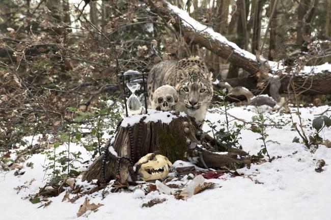 Анна де Карбуччиа. Снежный леопард. 2015