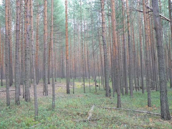 Сосновые леса Сйгинского лесопарка. Фото: А.В. Баздырева