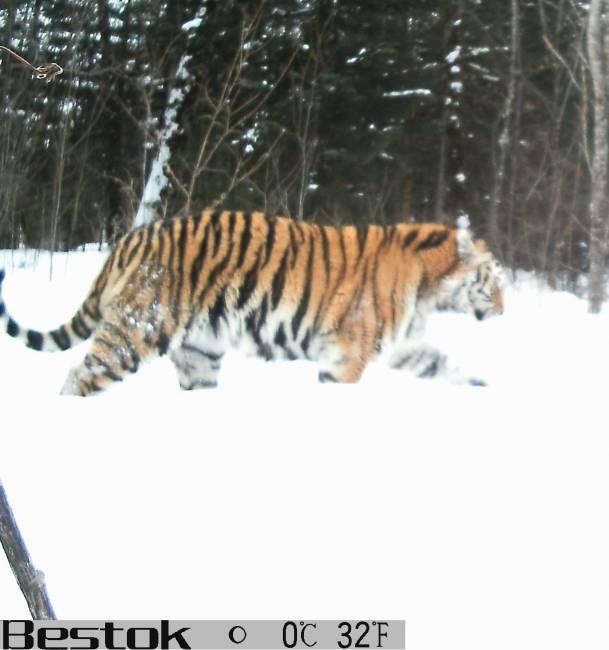 Амурский тигр прописался в Анюйском парке. Фото редакции предоставлены Анюйским