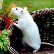 Белая крыса (Пахом)