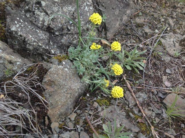 Неделя первоцветов: желтые цветы скалы Зверобой