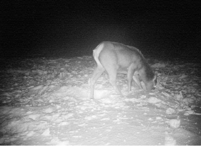 Лосиха попавшая в кадр фотоловушки на территории заповедника