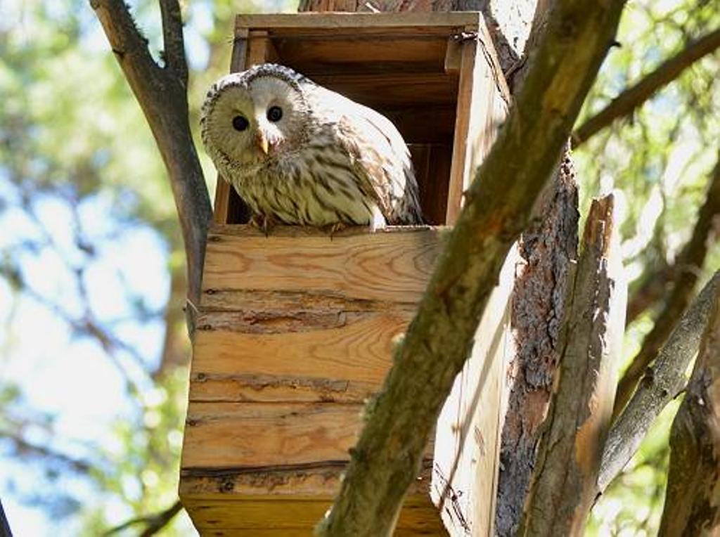 Гнездовой ящик для сов, занятый длиннохвостой неясытью