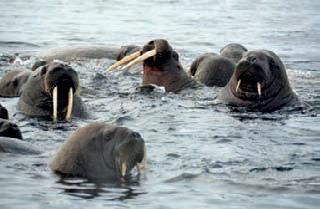 Космосъемка о. Матвеев, 28.07.2011 г. Зафиксировано около 200 моржей