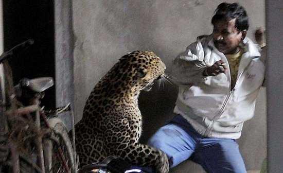 Нападение леопарда на человека