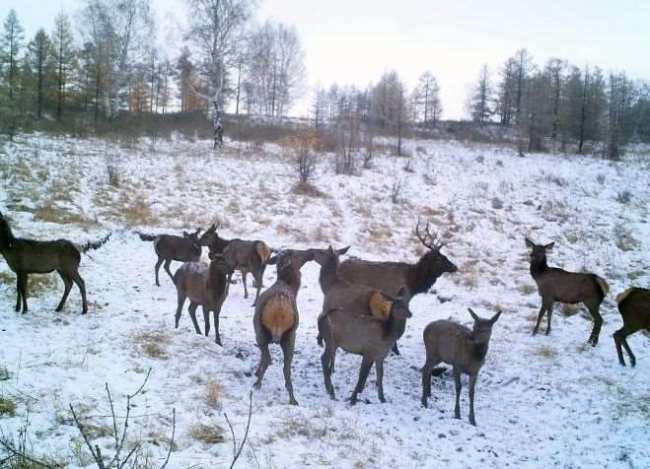 Зимний учет в особей в стаде оленей